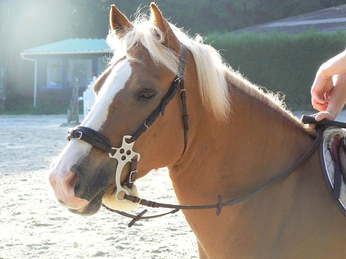 Halfeng_Horse_wearing_hackamore.jpg